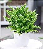 BALDUR Garten Schwertfarn Vitale, 1 Pflanze Zimmerpflanze luftreinigend Nephrolepis Vitale Zimmerpflanze -
