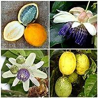 【種子】Passiflora Popenovii パッシフローラ・ポペノヴィ◎パーフェクトパッションフルーツ◆5粒 [並行輸入品]