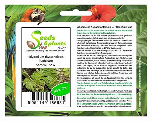 Stk - 10x Polypodium thyssanolepis Tüpfelfarn Garten Pflanzen - Samen B2237 - Seeds Plants Shop Samenbank Pfullingen Patrik Ipsa