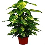 Planta de Interior Potho Epipremnum Tutor Altura 50cm Maceta 15cm Potus, Pothos o Potos