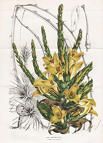 Puya Chilensis - Puya chilensis Chile flowers Blumen flower Blume Botanik Botanical Botany antique print