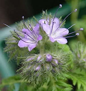 Best phacelia tansy seed Reviews