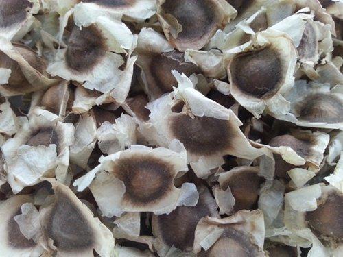 Earth plant 500 Moringa.oleifera Samen Drumstick Baum Reines Bio 100% von Thai JJ