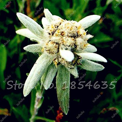 Big Promotion! 100 Pcs Edelweiss Graines Bonsai Graines Plantes en pot de fleurs Graines de bricolage jardin le taux bourgeonnant 97%