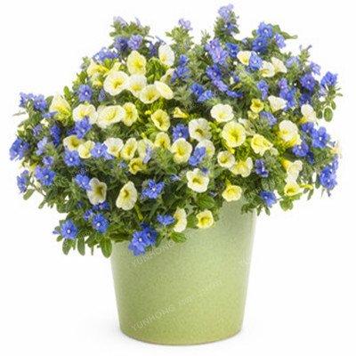 Escalade Pétunia Graines de fleurs Jardin Bonsai Balcon Petunia hybrida semences de fleurs de 20 espèces Bonsai plante facile à cultiver 100 Pcs 2