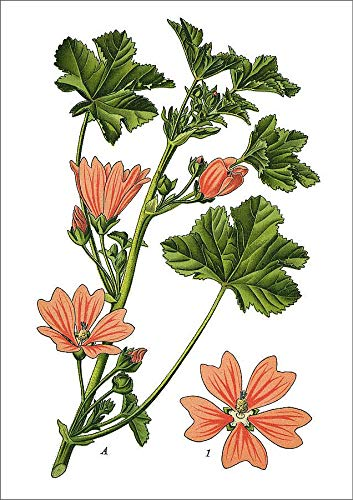 Media Storehouse A1 Poster of Common Mallow, Cheeses, high Mallow, Tall Mallow (19674151)