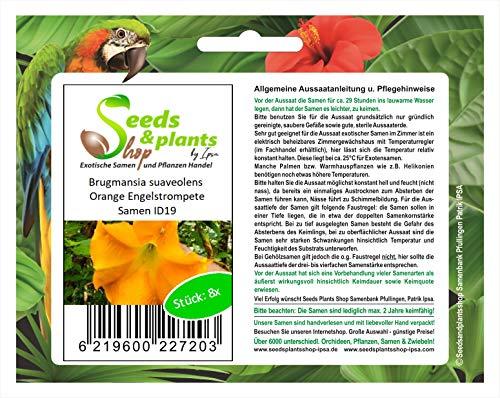 Stk - 8x Brugmansia suaveolens Orange Engelstrompete Pflanzen - Samen ID19 - Seeds Plants Shop Samenbank Pfullingen Patrik Ipsa