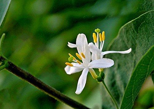 25 + Winter Geißblatt bush Samen (Lonicera fragrantissima) duftend CombSH I84