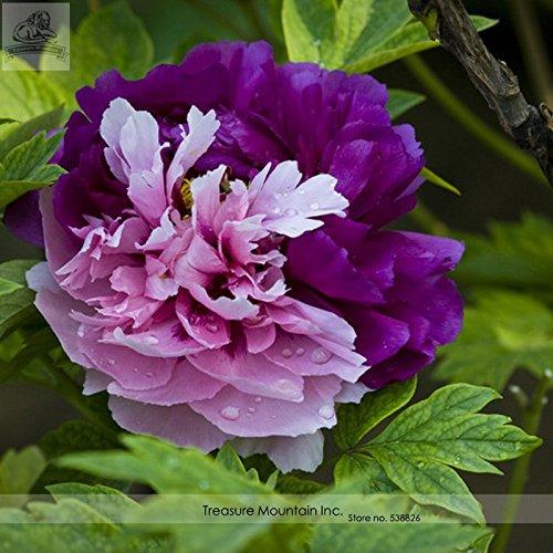 Pinkdose2018 Hot Sale Rare Nuevo 'Za Gu' Pink Purple Peony Tree Flower Seeds, paquete profesional, 5 semillas/paquete, Heirloom Beautiful TS111