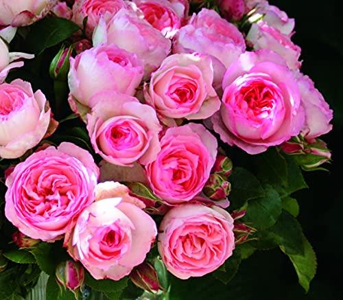 'Mini Eden Rose' -R-, Kletterrose im 4...