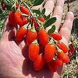 Semillas de Wolfberry Semillas de Bayas Goji rojas raras orgánicas Lycium Barbarum Semillas de Wolfberry Semillas de espino cerval chino Hierbas medicinales Perennes 100PCS