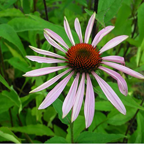 Blumixx Stauden Echinacea purpurea (Rudbeckia) - Sonnenhut, im 0,5 Liter Topf, purpurrosa blühend