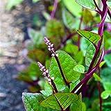 C-LARSS 100 Piezas De Semillas De Espinaca Gynura Cusimbua Malabars, Planta De Jardín De Jardín De Vegetales
