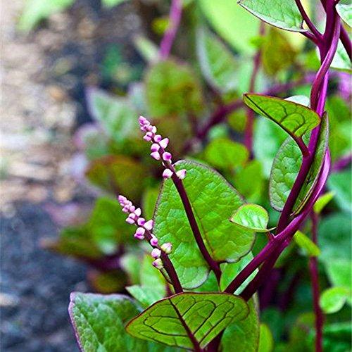Zhouba Gynura Cusimbua Malabar Spinat Samen für Hof Gartenpflanze, 100 Stück Gynura Cusimbua Malabar Spinat Samen Gesunde Gemüse Hof Garten Pflanze von Zhouba