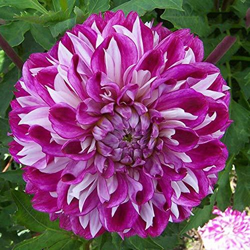 B/H Plantes de Jardin Décoration,Fleurs Sauvages en mélange Graines,Fleurs Sauvages en mélange Graines,Graines de Dahlia-P_50 pcs,Plantes de Jardin Décoration