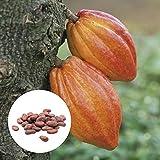 Oce180anYLVUK Semillas De Cacao Theobroma, 20 Piezas/Bolsa Semillas De Plantas Hermosas Semillas De Cacao Theobroma Naturales De Alta Germinación Para El Césped Semillas