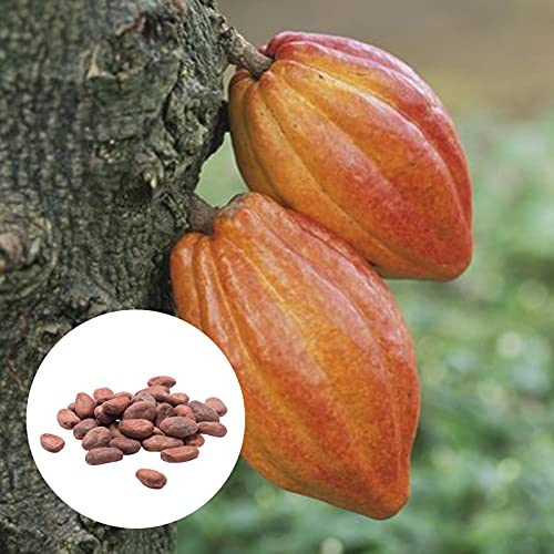 C-LARSS 20Pcs / Bag Semillas De Plantas De Cacao, Semillas De Flores De Theobroma De Alta Germinación Fáciles De Cultivar Anuales Para Césped Semillas