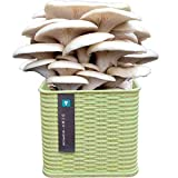 Kit De Crecimiento De Hongos Interior, Orgánico Oyster Spore Spore Mycelium Plug Spawn, Cosecha Y Come Seta Fresca Grandes Regalos para Niños Adultos,Verde,White Oyster Mushroom