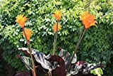 1 (1 pianta): Calathea crocata fiamma eterna pianta 9 cm vaso si prega di leggere la descrizione Vendiamo semi non solo la pianta. Il prezzo include funzioni customes Seeds è il pacchetto completo. Trasporto che a livello internazionale