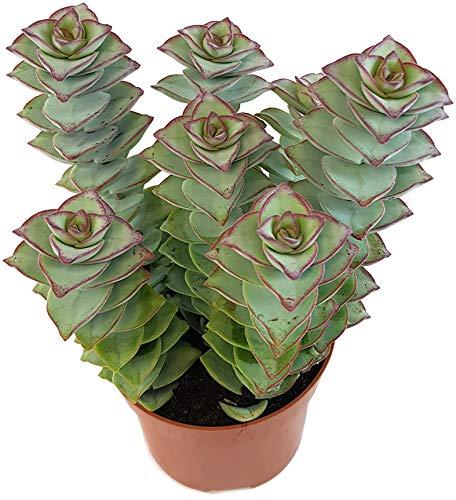 Fangblatt - Crassula perforata Giant - wunderschön gemusterte Sukkulente - außergewöhnliches Dickblatt - pflegeleichte Zimmerpflanze