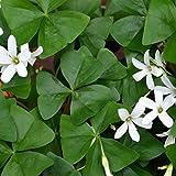 Nianyan Oxalis Regnellii (green Lucky Shamrock) - 10 robust bulbs