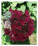Hydrangea paniculata Wim's Red, Hydrangea Wim's Red Plant in 9 cm Pot