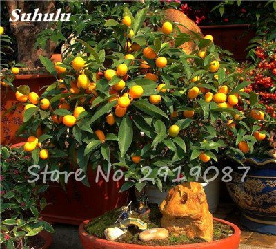 20 Pcs Chine Escalade Graines d'Orange Aucune ogm Bonsaï Kumquat Tangerine Citrus Potted fruit délicieux Faire du jus d'orange 2