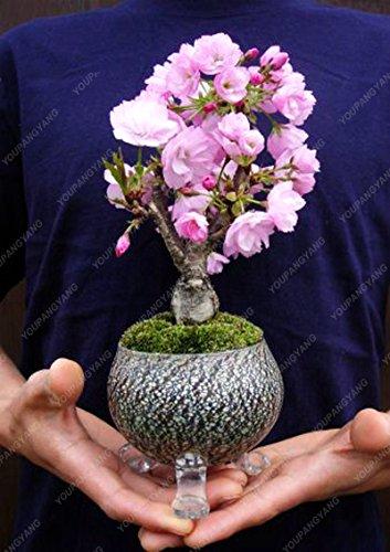 10 Pcs rares Mini japonais Sakura Graines de fleurs de cerisier intérieur Bonsaï Fleur Sakura Diy graines de vivaces Flower Garden