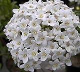 Osterschneeball - Viburnum x burkwoodii - stark duftend (40-60)
