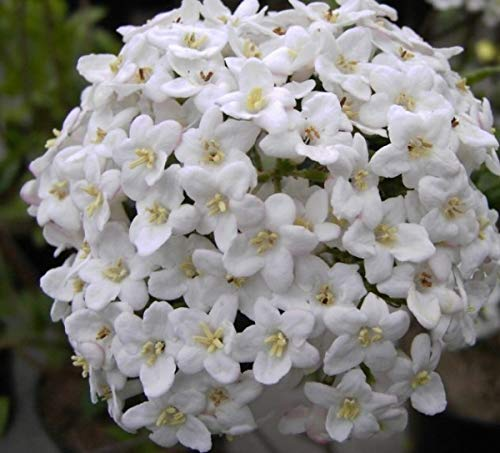 Osterschneeball - Viburnum x burkwoodii...