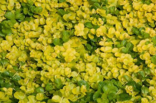 1 x Nummularia lysimachia 'Aurea' (Bodendecker/Stauden) Pfennigkraut