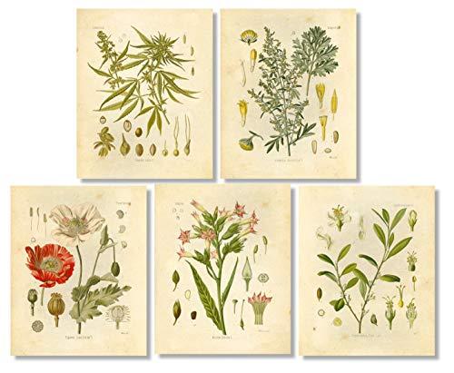 Psychoactive Plants Botanische Zeichnungen Vintage Kunstdrucke, 5 Stück, 20,3 x 25,4 cm, ungerahmt, Cannabis Coca Opium Mohnblume Tabak Wermut