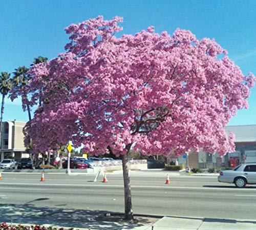 50 Tabebuia heterophylla, rosaer Trompetenbaum exotische Blüte weißen Zeder Samen