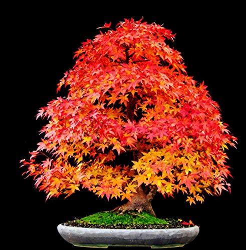 PLAT FIRM SEMILLAS DE GERMINACION: Paquete de 50: PUESTA DEL SOL ROJA * Arce japonés, Semillas de árboles de paisajismo Bonsai 10~100 PAQUETES