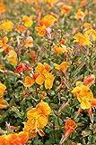 Wasserpflanzen Wolff - Mimulus 'Orange Glow' - Gauklerblume