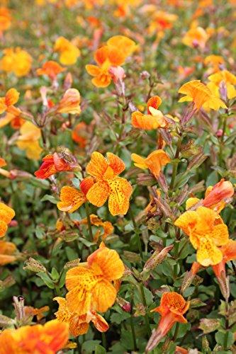 Wasserpflanzen Wolff - Mimulus 'Orange Glow' - Gauklerblume, orange