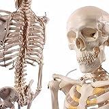 人体骨格模型 直立 スタンド 付 高精度 85cm 1/2モデル -1.4516