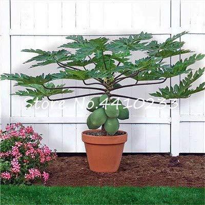 Bloom Green Co. Echte Papaya Bonsai-Baum im Freien Organischen süßen Papaya Bonsai für Gärten Gemüse * Obst Tropic Pflanzen Sementes 50 PC/Beutel: n