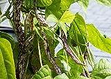 Dragon's Tongue Bush Bean Seeds (Dragon Langerie), 25 Heirloom Seeds Per Packet, Non GMO Seeds, Scientific Name: Phaseolus vulgaris, Isla's Garden Seeds