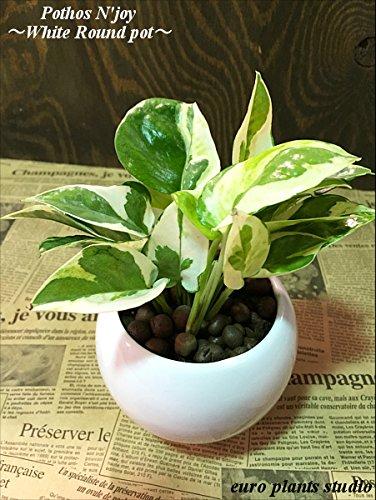 送料無料 ポトスエンジョイ ハイドロカルチャー 観葉植物 ポトス インテリア 北欧 おしゃれ ギフト お祝い ホワイトラウンドポット