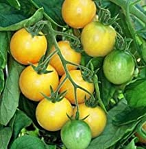 Golden Nugget Tomato Seed