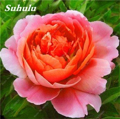 Nouveau! 10 Pcs Pivoine Graines Paeonia suffruticosa Andrews Mix Couleurs Indoor Bonsai fleur pour jardin des plantes Pivoine Graines de fleurs 3