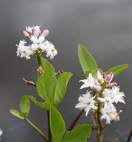 2er-Set - winterhart! - Menyanthes trifoliata - Bitterklee - Fieberklee, weiß - Wasserpflanzen Wolff - Blume des Jahres 2020 !