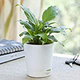 Ugaoo Peace Lily Plant with Self Watering Pot (Spathiphyllum Viscount)