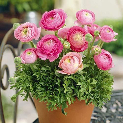 AIMADO Samen-50 Pcs Ranunkel Blumensamen Rosa mehrjährig winterhart Bonsai Saatgut Garten große, gefüllte Blüten ideal für Topfpflanzung geeignet