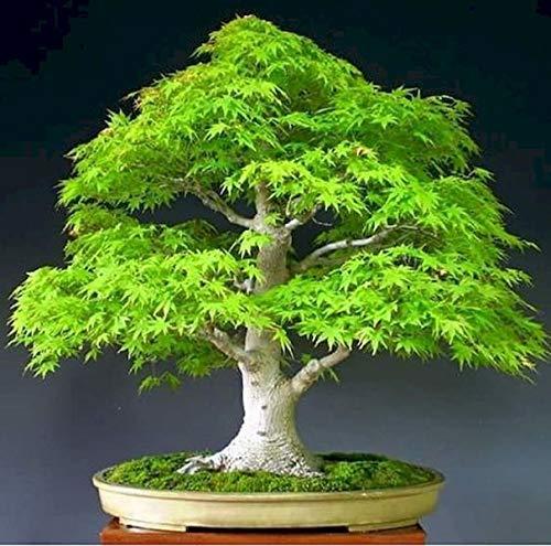 Xianjia Garten - 20 Pcs Rarität Japanische Ahorn Samen \'Dream\' Bonsai Saatgut mehrjährige winterharte Ahorn pflanze für kleine Gärten und für die Kübelpflanzung geeignet (2)