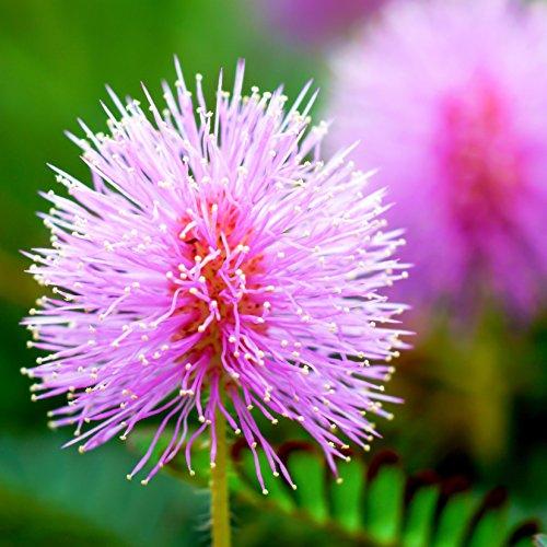 Outsidepride Mimosa Pudica Sensitive Plant Seeds - 1000 Seeds