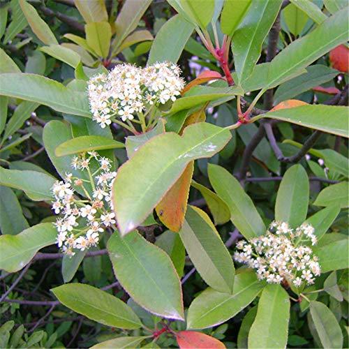 TENGGO Egrow 50 Teile/Paket Serrulata Samen Photinia Serrulata Baum Pflanze Rotkehlchen Hausgarten Dekoration