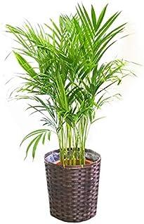 アレカヤシ ヤシの木 鉢カバー付 観葉植物 インテリア 中型 大型