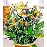 Kisshes Seedhouse - Afrique Rare Strelitzia reginae 'Humilis' 'Oiseau du paradis' nain fleurs grainé jardin plantes vivaces Plantes en rocaille, en couvre-sols ou en bordure